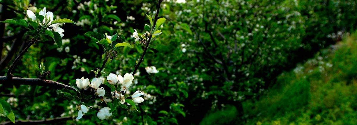 Ανθισμένες μηλιές